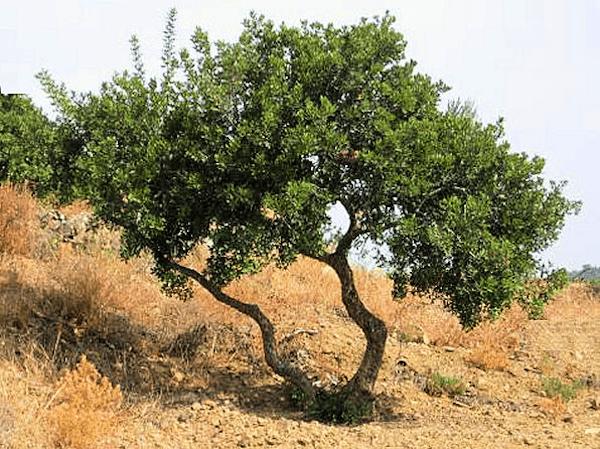 mastiha-tree