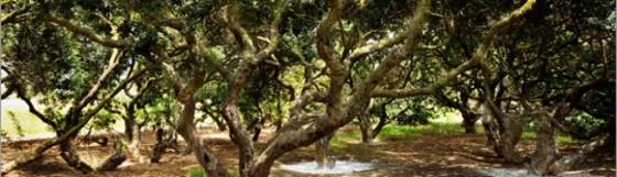 cropped-mastic-tree