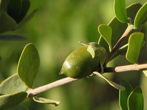 Jojoba_Nut_-_Flickr_-_treegrow_(6).jpg